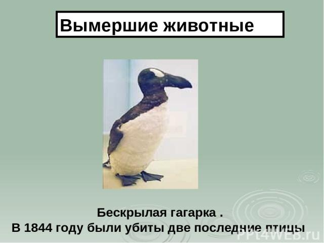 Бескрылая гагарка . В 1844 году были убиты две последние птицы Вымершие животные