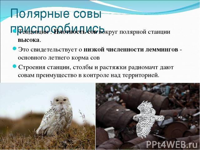 Полярные совы приспособились Тенденции : Плотность сов вокруг полярной станции высока. Это свидетельствует о низкой численности леммингов - основного летнего корма сов Строения станции, столбы и растяжки радиомачт дают совам преимущество в контроле …