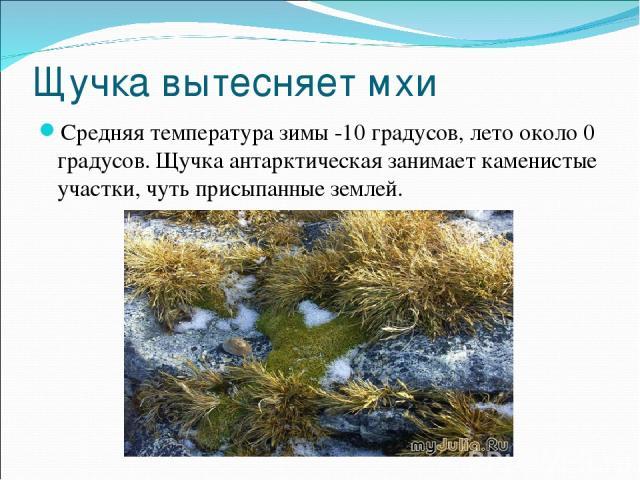 Щучка вытесняет мхи Средняя температура зимы -10 градусов, лето около 0 градусов. Щучка антарктическая занимает каменистые участки, чуть присыпанные землей.
