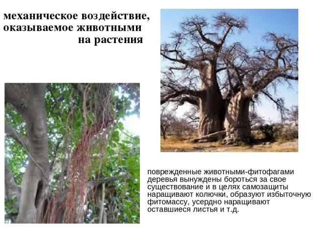 механическое воздействие, оказываемое животными на растения поврежденные животными-фитофагами деревья вынуждены бороться за свое существование и в целях самозащиты наращивают колючки, образуют избыточную фитомассу, усердно наращивают оставшиеся лист…