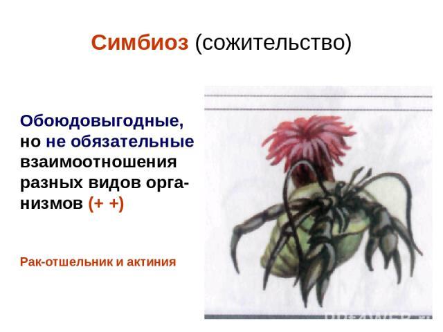 Симбиоз (сожительство) Обоюдовыгодные, но не обязательные взаимоотношения разных видов орга- низмов (+ +) Рак-отшельник и актиния