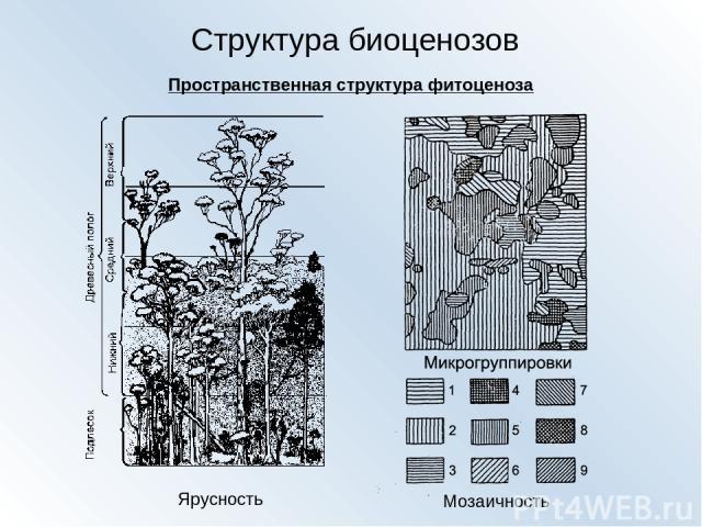 Структура биоценозов Пространственная структура фитоценоза Ярусность Мозаичность
