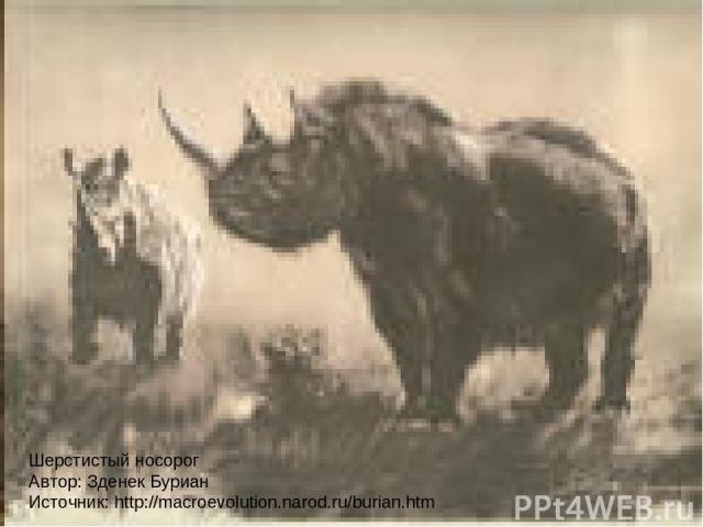 Шерстистый носорог Автор: Зденек Буриан Источник: http://macroevolution.narod.ru/burian.htm