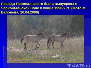 Лошади Пржевальского были выпущены в Чернобыльской Зоне в конце 1990-х гг. (Фото