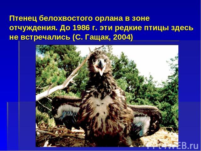 Птенец белохвостого орлана в зоне отчуждения. До 1986 г. эти редкие птицы здесь не встречались (С. Гащак, 2004)