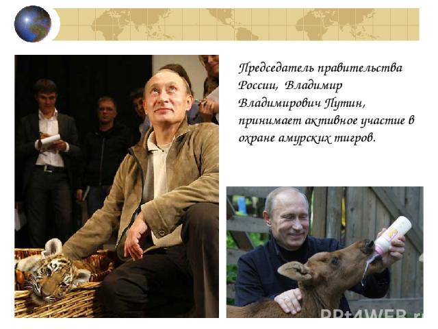 Председатель правительства России, Владимир Владимирович Путин, принимает активное участие в охране амурских тигров.