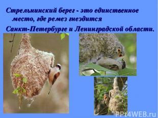 Стрельнинский берег - это единственное место, где ремез гнездится Санкт-Петербур