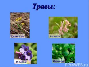 Травы: Гусиный лук Хохлатка Медуница Копытень