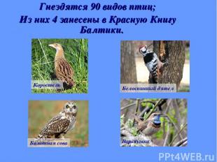 Гнездятся 90 видов птиц; Из них 4 занесены в Красную Книгу Балтики. Коростель Бе