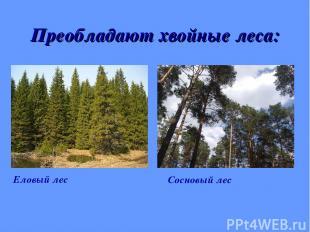 Преобладают хвойные леса: Еловый лес Сосновый лес