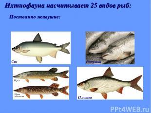 Постоянно живущие: Ихтиофауна насчитывает 25 видов рыб: Сиг Ряпушка Плотва
