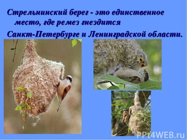 Стрельнинский берег - это единственное место, где ремез гнездится Санкт-Петербурге и Ленинградской области.
