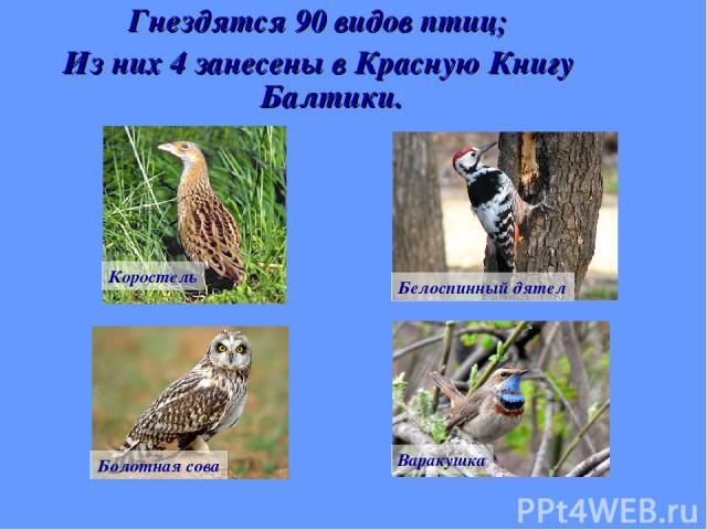 Гнездятся 90 видов птиц; Из них 4 занесены в Красную Книгу Балтики. Коростель Белоспинный дятел Болотная сова Варакушка
