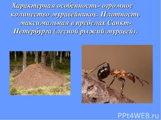 Характерная особенность- огромное количество муравейников. Плотность максимальная в пределах Санкт-Петербурга (лесной рыжий муравей).