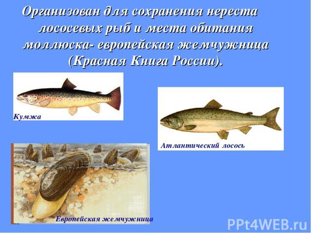Организован для сохранения нереста лососевых рыб и места обитания моллюска- европейская жемчужница (Красная Книга России). Кумжа Атлантический лосось Европейская жемчужница