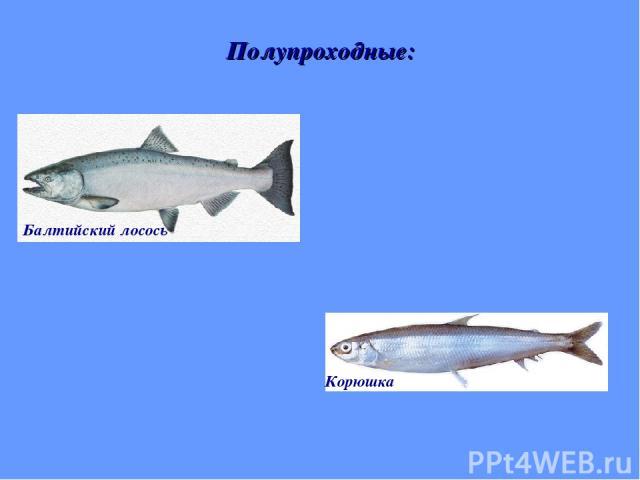 Полупроходные: Балтийский лосось Корюшка