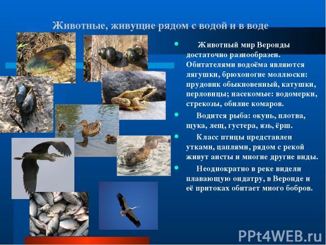 Животные, живущие рядом с водой и в воде Животный мир Веронды достаточно разнообразен. Обитателями водоёма являются лягушки, брюхоногие моллюски: прудовик обыкновенный, катушки, перловицы; насекомые: водомерки, стрекозы, обилие комаров. Водится рыба…