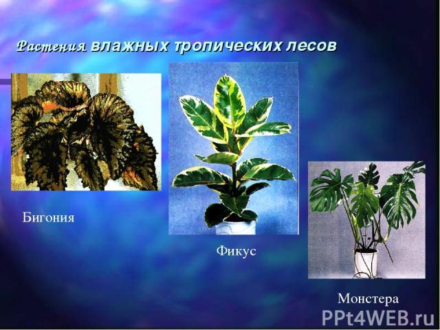Растения влажных тропических лесов Бигония Фикус Монстера