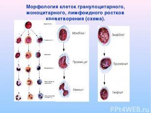 Морфология клеток гранулоцитарного, моноцитарного, лимфоидного ростков кроветвор