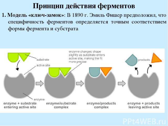 Принцип действия ферментов 1. Модель «ключ-замок»: В 1890 г. Эмиль Фишер предположил, что специфичность ферментов определяется точным соответствием формы фермента и субстрата