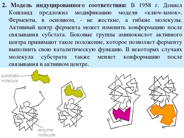 2. Модель индуцированного соответствия: В 1958 г. Дениел Кошланд предложил модификацию модели «ключ-замок». Ферменты, в основном, - не жесткие, а гибкие молекулы. Активный центр фермента может изменить конформацию после связывания субстата. Боковые …