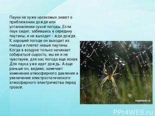 Пауки не хуже насекомых знают о приближении дождя или установлении сухой погоды.