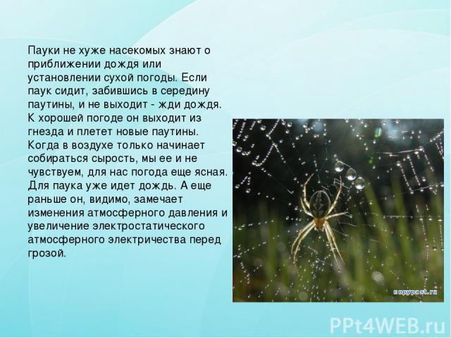 Пауки не хуже насекомых знают о приближении дождя или установлении сухой погоды. Если паук сидит, забившись в середину паутины, и не выходит - жди дождя. К хорошей погоде он выходит из гнезда и плетет новые паутины. Когда в воздухе только начинает с…
