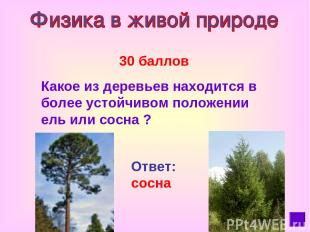 30 баллов Какое из деревьев находится в более устойчивом положении ель или сосна