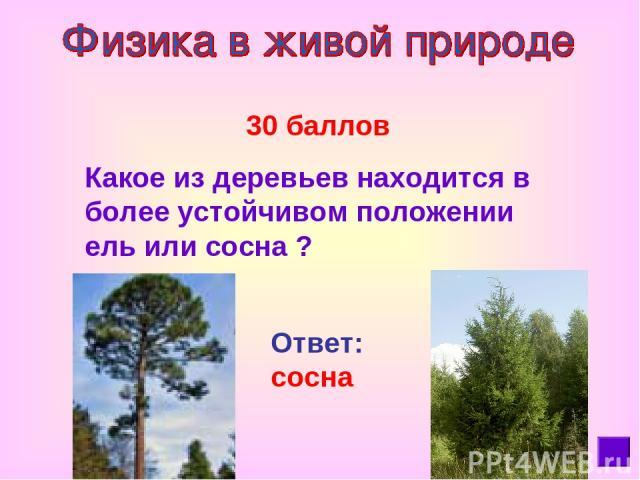 30 баллов Какое из деревьев находится в более устойчивом положении ель или сосна ? Ответ: сосна