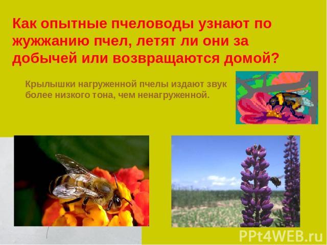 Как опытные пчеловоды узнают по жужжанию пчел, летят ли они за добычей или возвращаются домой? Крылышки нагруженной пчелы издают звук более низкого тона, чем ненагруженной.