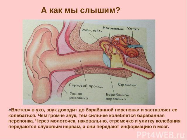 А как мы слышим? «Влетев» в ухо, звук доходит до барабанной перепонки и заставляет ее колебаться. Чем громче звук, тем сильнее колеблется барабанная перепонка. Через молоточек, наковальню, стремечко и улитку колебания передаются слуховым нервам, а о…