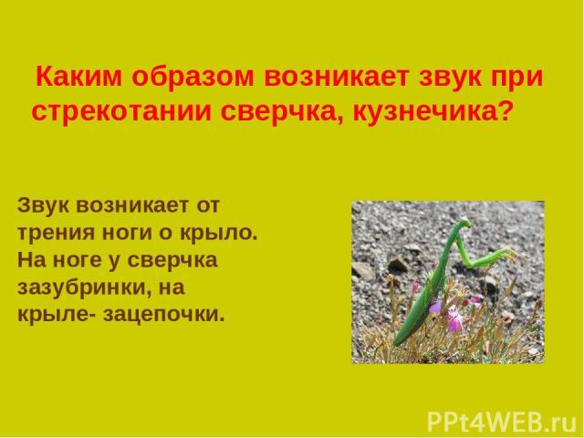 Каким образом возникает звук при стрекотании сверчка, кузнечика? Звук возникает от трения ноги о крыло. На ноге у сверчка зазубринки, на крыле- зацепочки.