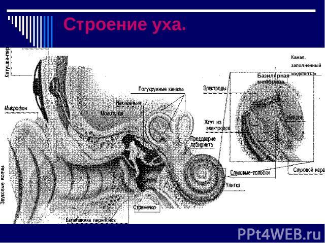 ПриёПриёмник мник Строение уха. Канал, заполненный жидкостью Базилярная мембрана