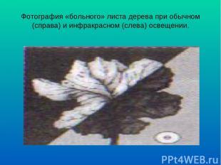 Фотография «больного» листа дерева при обычном (справа) и инфракрасном (слева) о