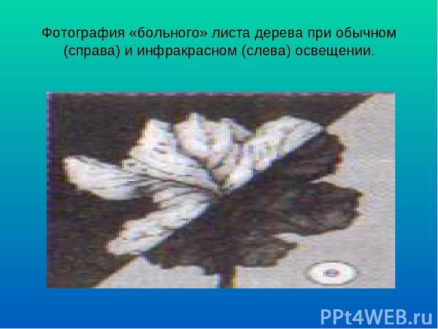 Фотография «больного» листа дерева при обычном (справа) и инфракрасном (слева) освещении.