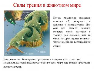 Силы трения в животном мире Когда миллионы волосков геккона (А) вступают в конта