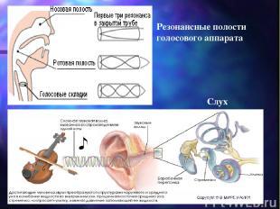 Резонансные полости голосового аппарата Слух