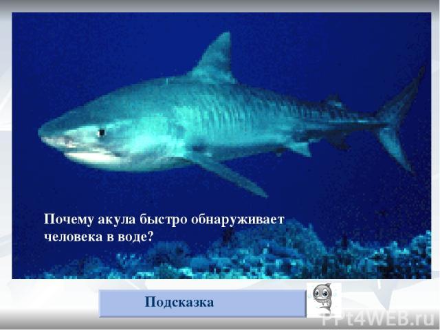 Почему акула быстро обнаруживает упавшего в воду человека? Подсказка Почему акула быстро обнаруживает человека в воде?