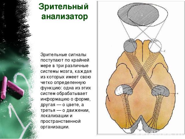 Зрительный анализатор Зрительные сигналы поступают по крайней мере в три различные системы мозга, каждая из которых имеет свою четко определенную функцию: одна из этих систем обрабатывает информацию о форме, другая — о цвете, а третья — о движении, …
