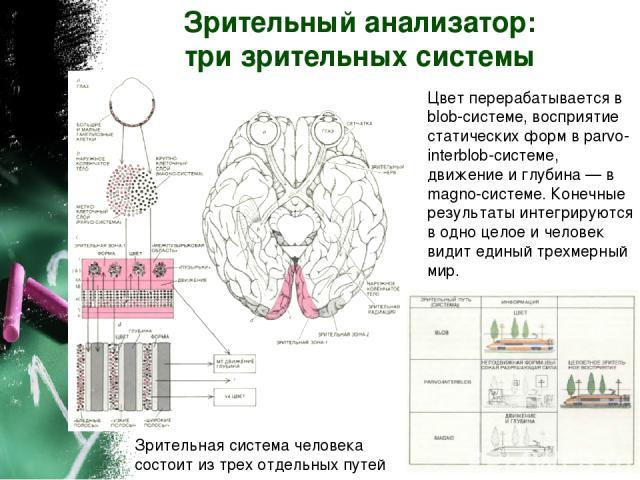 Зрительный анализатор: три зрительных системы Зрительная система человека состоит из трех отдельных путей Цвет перерабатывается в blob-системе, восприятие статических форм в parvo-interblob-системе, движение и глубина — в magno-системе. Конечные рез…