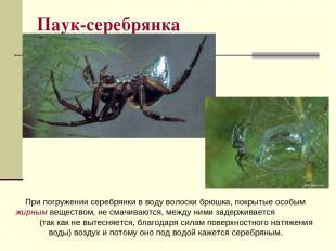 Паук-серебрянка При погружении серебрянки в воду волоски брюшка, покрытые особым