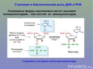 Строение и биологическая роль ДНК и РНК Полимерные формы нуклеиновых кислот назы