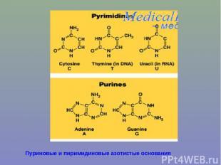 Пуриновые и пиримидиновые азотистые основания