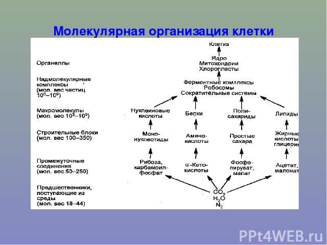 Молекулярная организация клетки