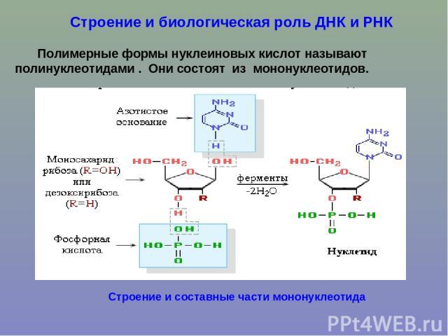 Строение и биологическая роль ДНК и РНК Полимерные формы нуклеиновых кислот называют полинуклеотидами . Они состоят из мононуклеотидов. Строение и составные части мононуклеотида