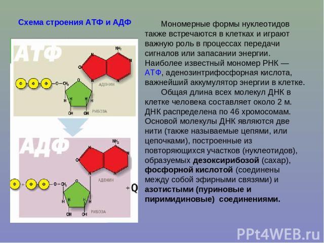 Мономерные формы нуклеотидов также встречаются в клетках и играют важную роль в процессах передачи сигналов или запасании энергии. Наиболее известный мономер РНК— АТФ, аденозинтрифосфорная кислота, важнейший аккумулятор энергии в клетке. Общая длин…