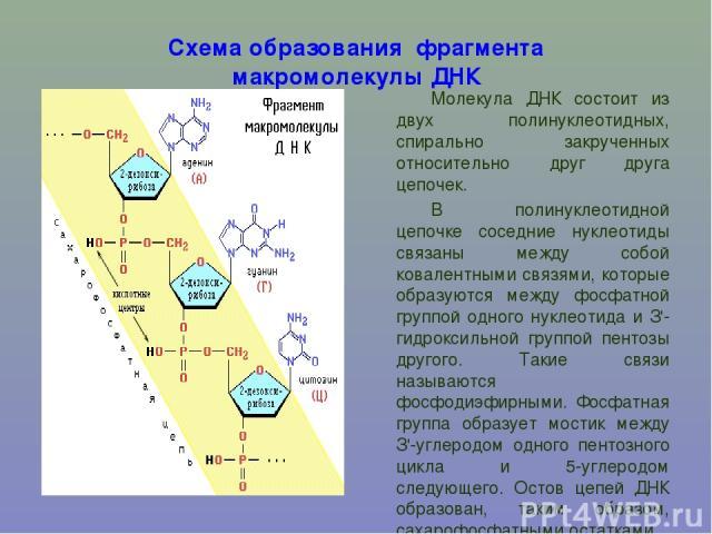 Схема образования фрагмента макромолекулы ДНК Молекула ДНК состоит из двух полинуклеотидных, спирально закрученных относительно друг друга цепочек. В полинуклеотидной цепочке соседние нуклеотиды связаны между собой ковалентными связями, которые обра…