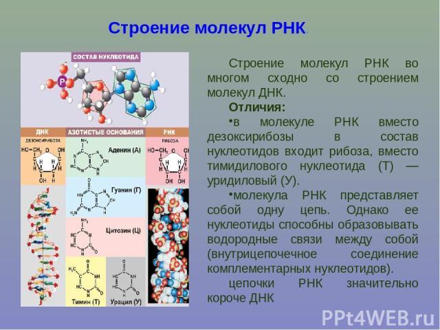 Строение молекул РНК. Строение молекул РНК во многом сходно со строением молекул ДНК. Отличия: в молекуле РНК вместо дезоксирибозы в состав нуклеотидов входит рибоза, вместо тимидилового нуклеотида (Т) — уридиловый (У). молекула РНК представляет соб…