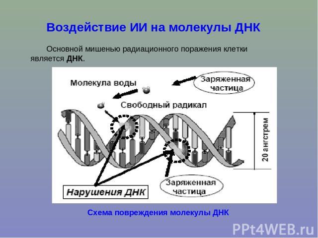 Воздействие ИИ на молекулы ДНК Основной мишенью радиационного поражения клетки является ДНК. Схема повреждения молекулы ДНК