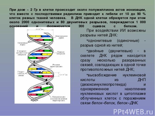 При дозе ~ 2 Гр в клетке происходит около полумиллиона актов ионизации, что вместе с последствиями радиолиза приводит к гибели от 10 до 90 % клеток разных тканей человека. В ДНК одной клетки образуется при этом около 2000 однонитевых и 80 двунитевых…